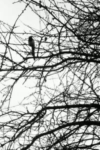 Songbird...