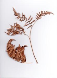 Natures artwork - scanned edition, fern.