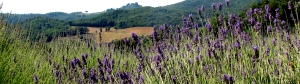 Tuscan lavender. Image from here.
